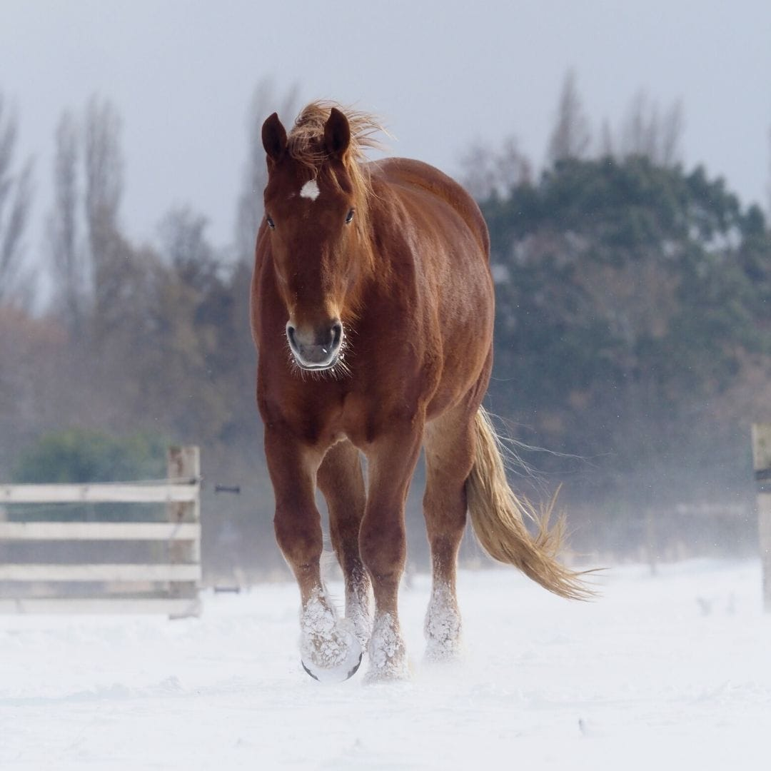Suffolk Punch Horse Breed Profile Appearance History Common Uses Helpful Horse Hints
