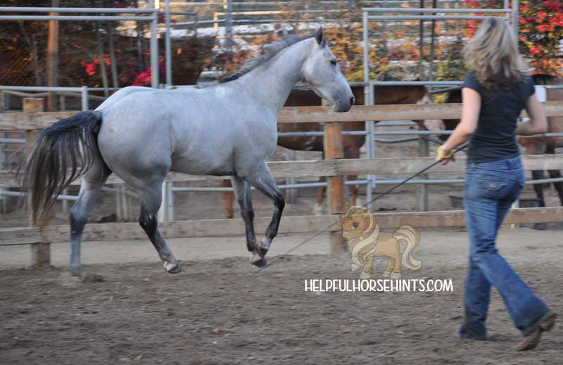 Lunging a horse at liberty.