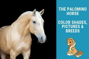 Palomino Horse – Breeds, Colors, and Genetics