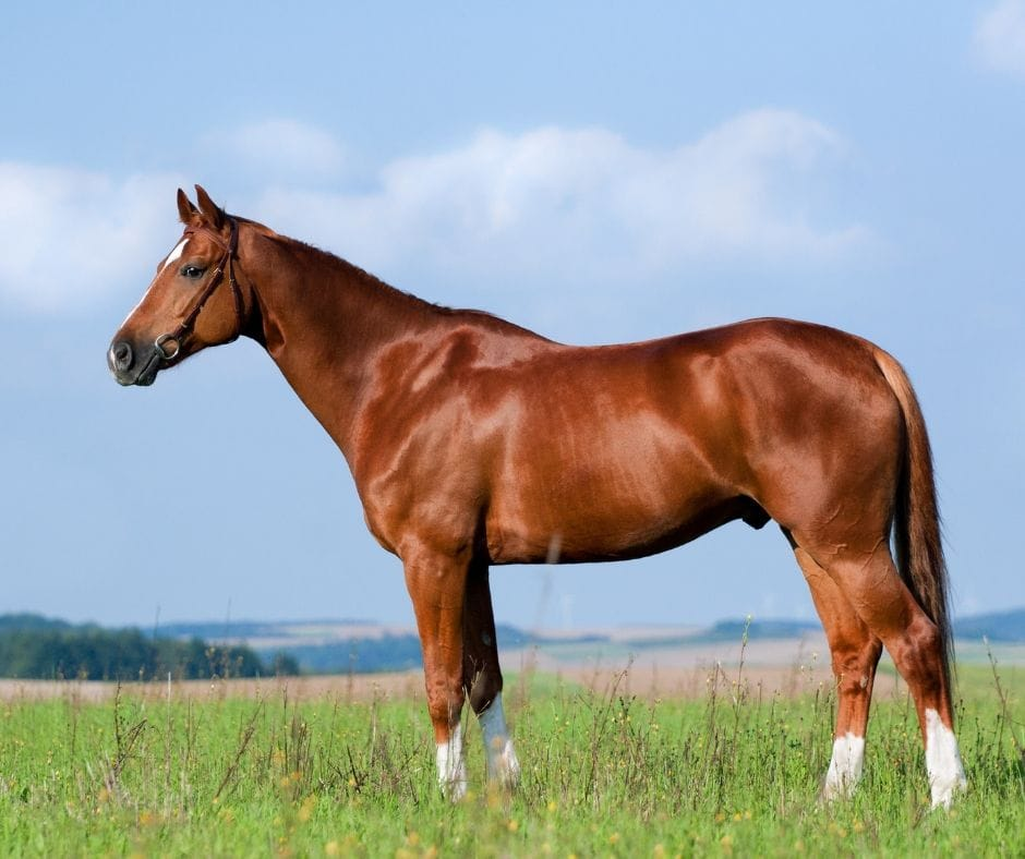 thoroughbred horse conformation shot