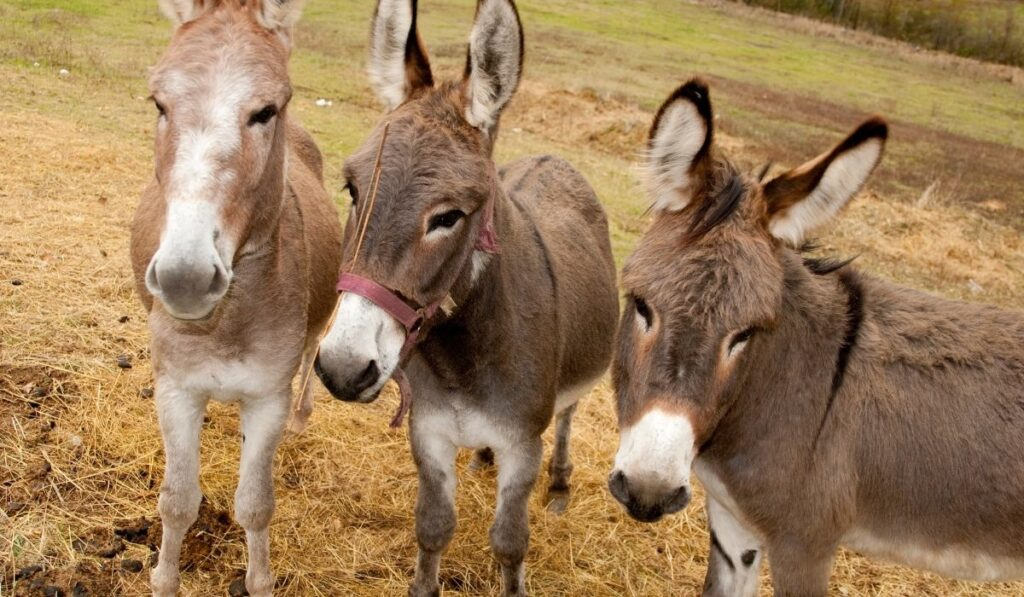 three donkeys in the field