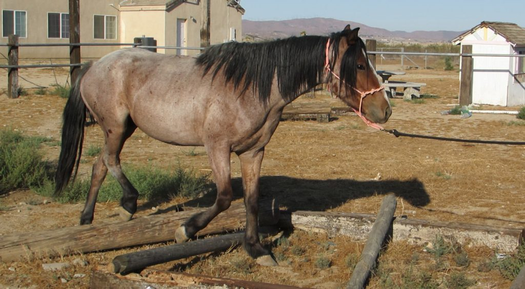 Bay Roan BLM Mustang in TIP Training