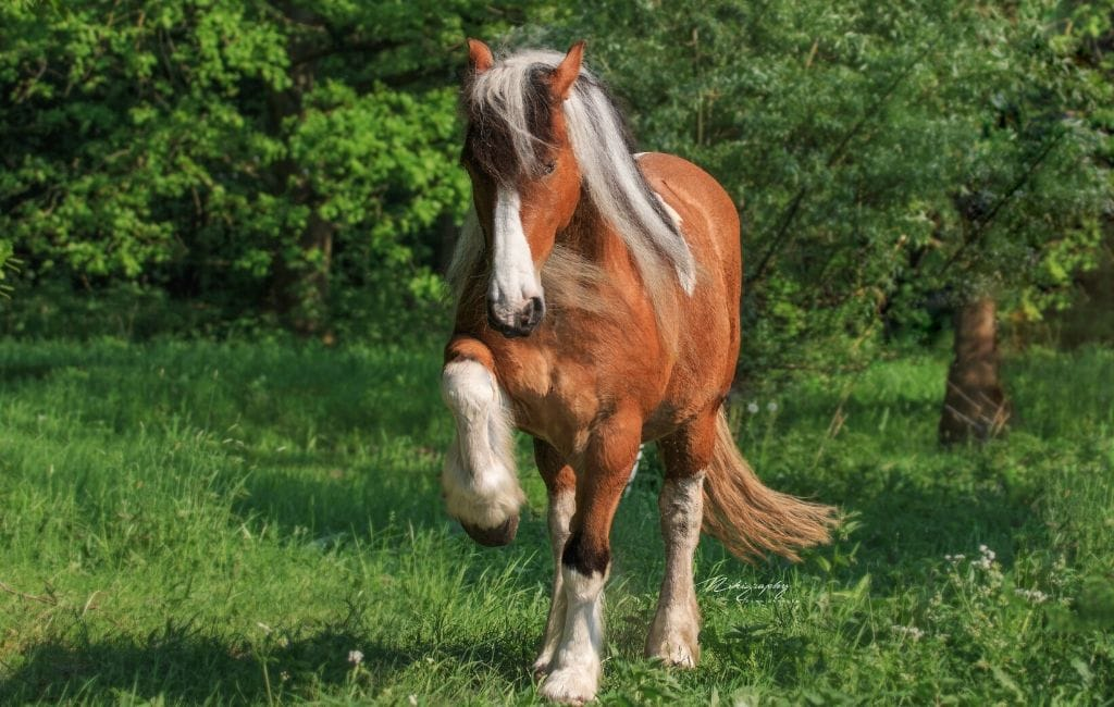 North American Spotted Draft Horse Origin Types And Cost Helpful Horse Hints