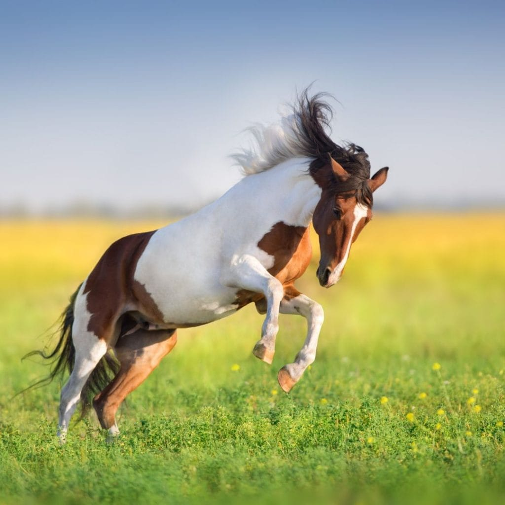Paint Horse V Pinto V Skewbald V Piebald Which Is Which Helpful Horse Hints