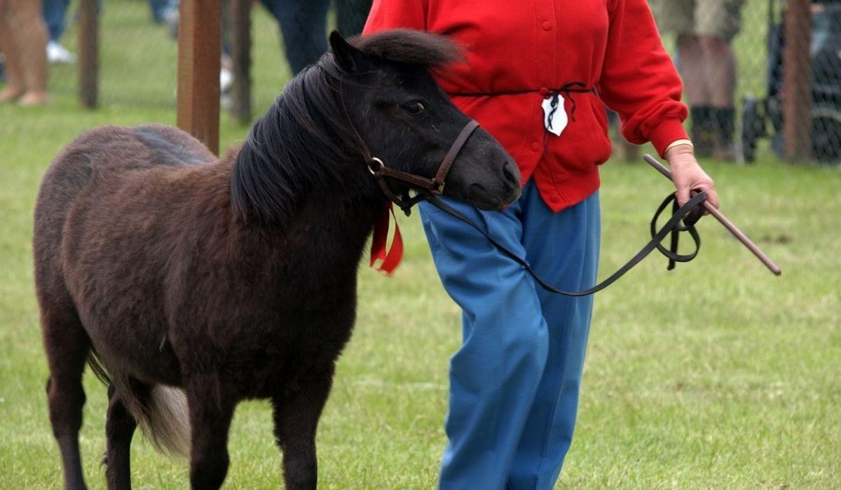 training miniature horse