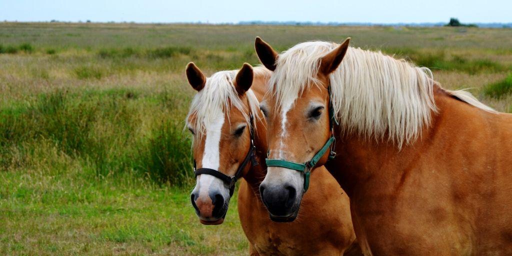 hafflinger horses side by side