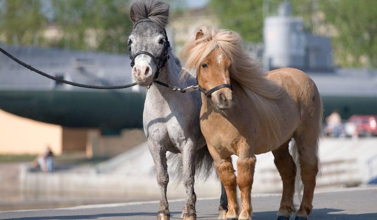 two mini horses to be embark