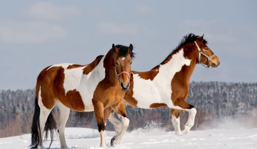 two pinto horses
