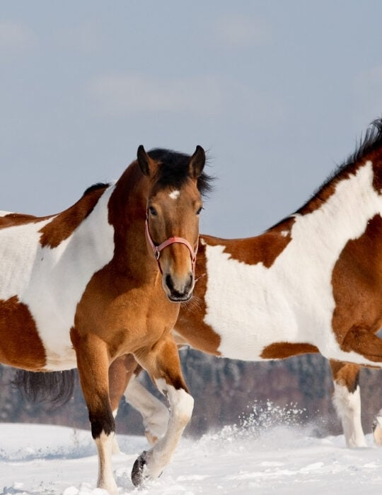 two-pinto-horses