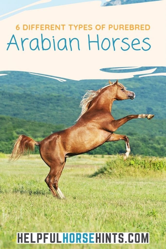 6 Main Types Of Purebred Arabian Horses Helpful Horse Hints