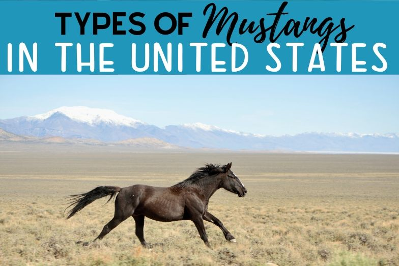 Types of Mustang Horses in the United States