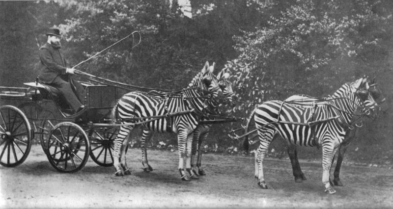 Walter Rothschild with his Zebra Driving Team