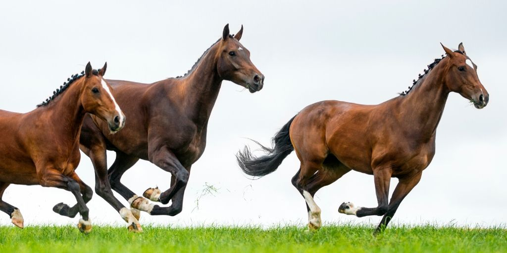 warmblood horses running in a field