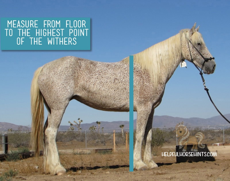 proper location to measure horse height