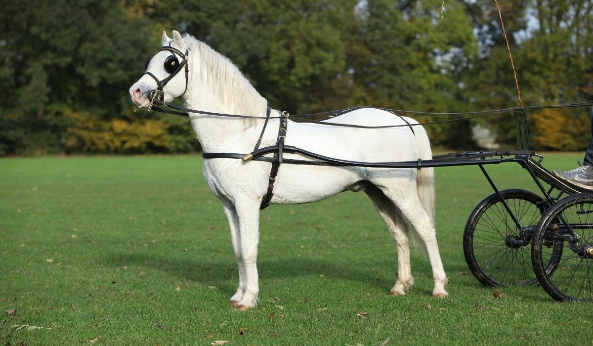 white mountain welsh pony
