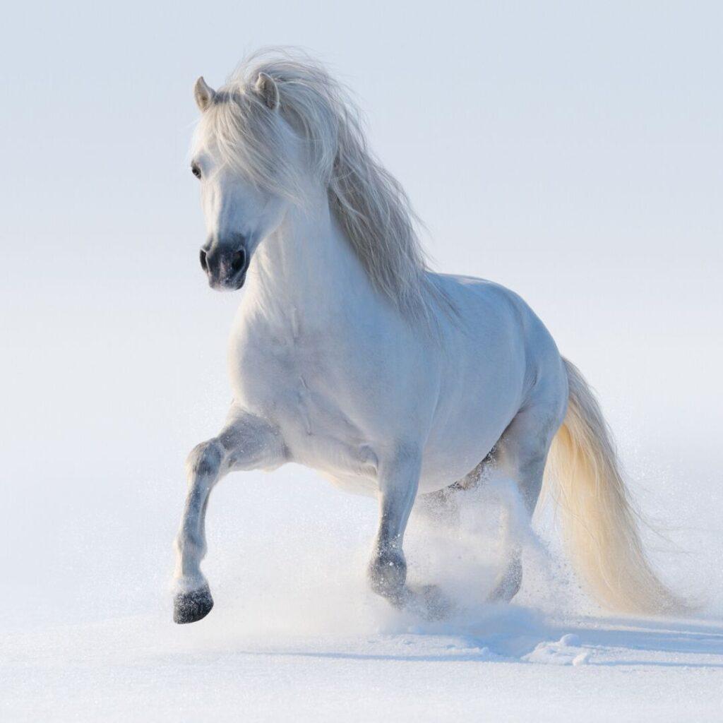 white welsh pony