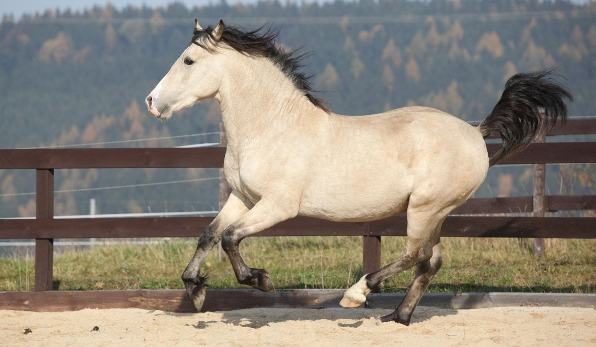 white welsh pony cob running