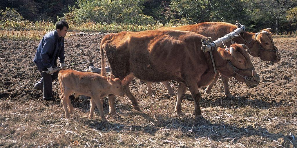 working oxen