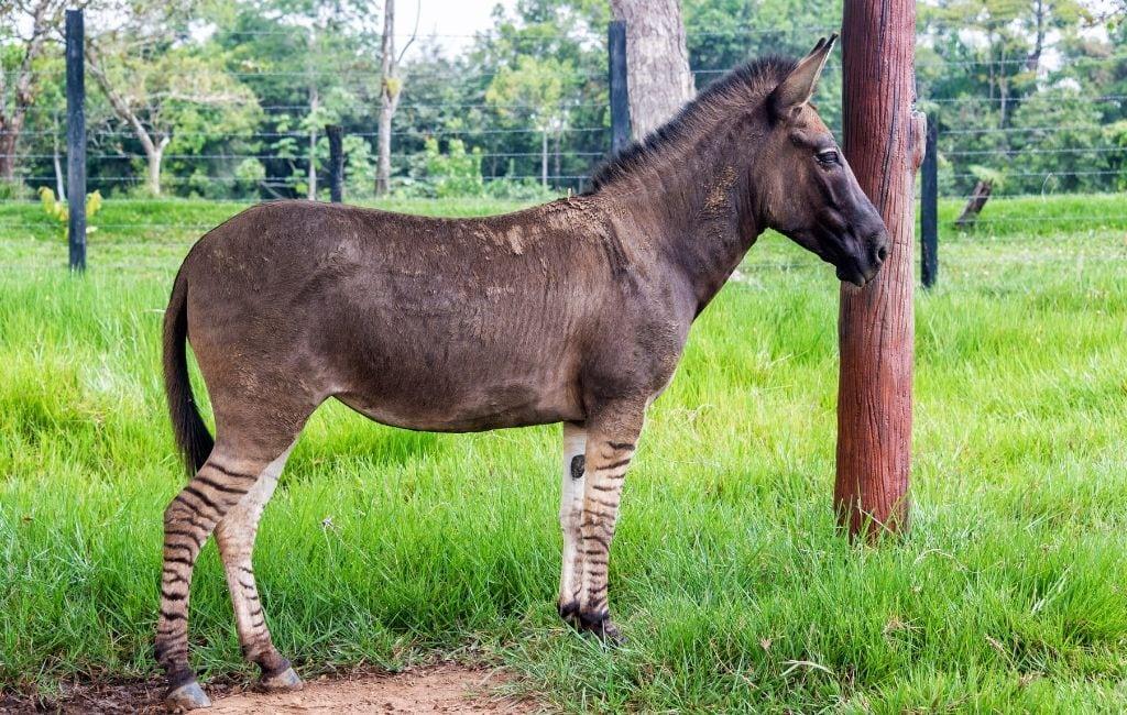 Zebra / Donkey Hybrid