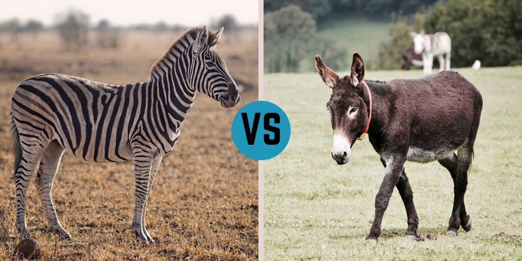 Zebra vs. Donkey